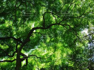 フォレスト内のツリーの写真・画像素材[1178149]