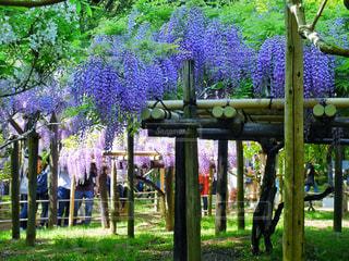 紫色の花庭園のグループの写真・画像素材[1178155]
