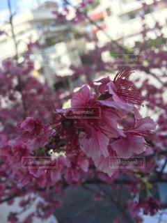 花,桜,ポートレート