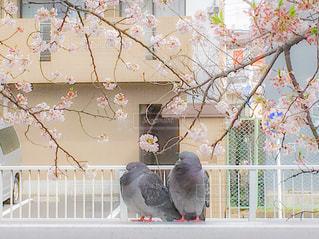 桜の木の下での写真・画像素材[2061705]