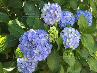 あじさい,紫陽花,梅雨,梅雨の晴れ間