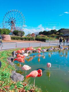 鳥,観覧車,遊園地,フラミンゴ,動物園