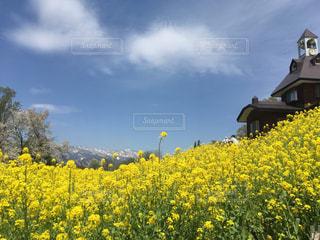 春,お花畑,黄色,菜の花,田舎,旅行,長野,アルプス,おでかけ,のどか,とんがり屋根