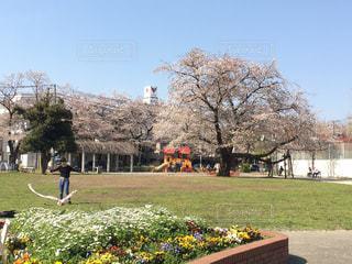 公園,春,桜,お花,休日,練習,のんびり,お散歩,のどか,近所
