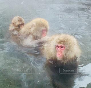 地獄谷温泉のお猿さんの写真・画像素材[960642]