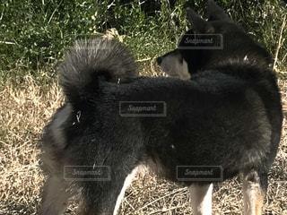 黒柴の巻尾の写真・画像素材[978286]