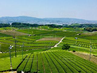 緑,新緑,お茶,初夏,茶畑,緑茶,日本茶,煎茶,八女茶