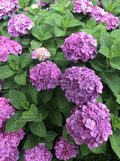 花,雨,傘,青,紫,鮮やか,紫陽花,梅雨,6月,華やか,春から夏へ