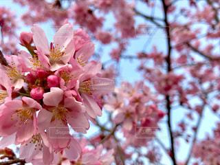 ピンクの桜の写真・画像素材[1127033]
