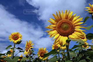 近くに黄色い花のアップの写真・画像素材[1132818]