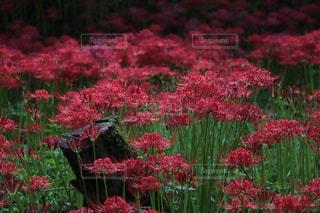 植物にピンクの花の写真・画像素材[1138775]
