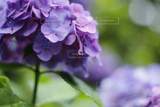 紫,お花,紫陽花,雫,梅雨,雨の日,アジサイ