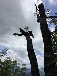 森の大きな木の写真・画像素材[965210]