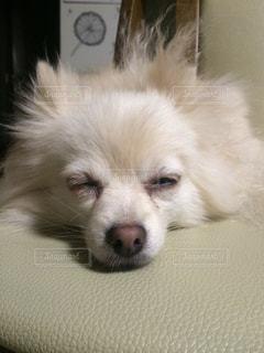 ベッドの上で横になっている茶色と白犬の写真・画像素材[989919]