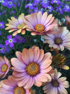 紫の花の束の写真・画像素材[1145609]