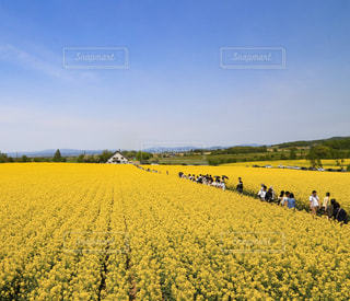 北海道 滝川市 菜の花まつりの写真・画像素材[1031849]