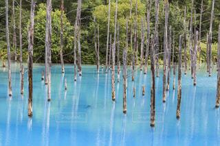 美瑛町 夏の青い池の写真・画像素材[1031942]