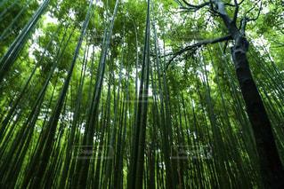 京都嵐山の竹林の写真・画像素材[1160496]