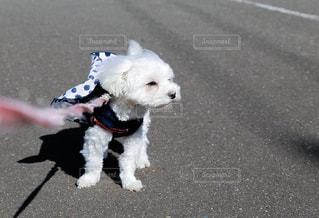 散歩をいやがる小さな白い犬の写真・画像素材[1184320]