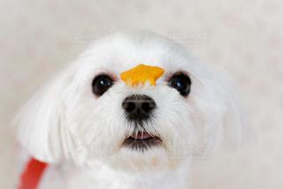 カメラを見ている小さな白い犬の写真・画像素材[1184764]