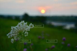白いお花と夕日の写真・画像素材[960372]