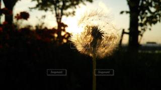 夕日とたんぽぽの写真・画像素材[961948]