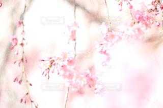 ピンクの花のグループの写真・画像素材[1135003]