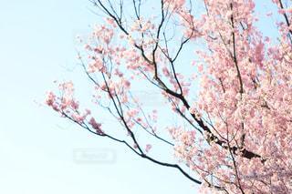 空,桜,青空,上野,東京都,枝垂れ桜,国立博物館,2018年3月