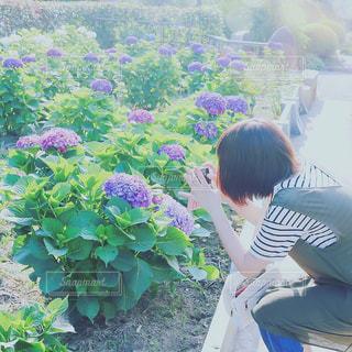 紫陽花,梅雨,思い出,梅雨晴れ,紫陽花畑