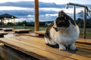 足湯猫の写真・画像素材[1255289]