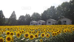夏,花畑,向日葵,世羅高原農場,花絶景