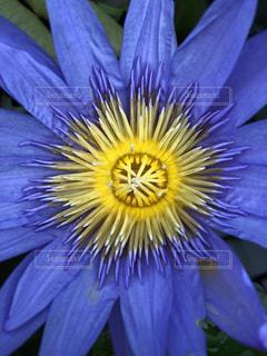 青い蓮の花の写真・画像素材[1226321]