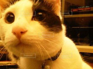 カメラを見ている猫 - No.992370