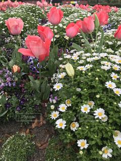 ピンクの花のグループの写真・画像素材[3067131]
