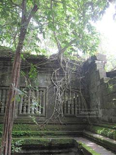 自然,木,屋外,樹木,旅行,遺跡,旅,東南アジア,カンボジア,冒険,歴史,ベンメリア,草木