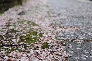 自然,花,春,桜,雨,屋外,哀愁,葉,花びら,苔,地面,草木