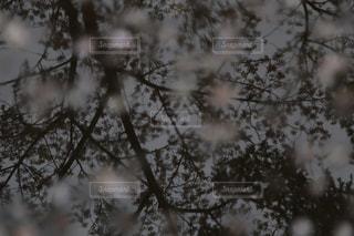 水たまりに映る桜の写真・画像素材[1855132]