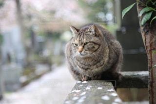 猫,自然,花,春,桜,動物,森林,屋外,枝,花びら,樹木,ねこ,座る,グレー,コンクリート,石,草木