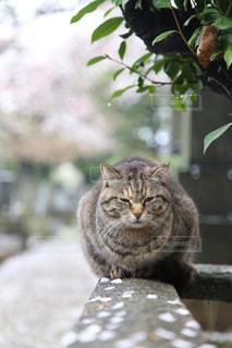 猫,自然,花,春,桜,動物,森林,花びら,樹木,ねこ,子猫,座る,グレー,コンクリート,石,草木