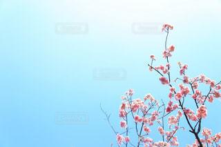 河津桜の写真・画像素材[1857705]