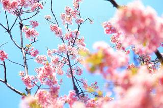 自然,空,花,春,屋外,ピンク,青空,青,枝,花見,鮮やか,樹木,旅行,カラー,河津桜,草木,お出かけ,余白,休暇,開花,ブロッサム