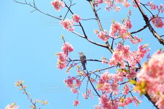 自然,空,花,桜,鳥,屋外,花見,鮮やか,樹木,旅行,雀,カラー,草木,お出かけ,余白,休暇,スズメ,開花,ブロッサム