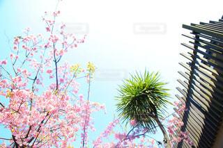 自然,風景,空,花,桜,屋外,テラス,花見,樹木,旅行,ヤシの木,草木,お出かけ,余白,休暇,開花,ブロッサム