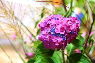 紫陽花の写真・画像素材[2149648]