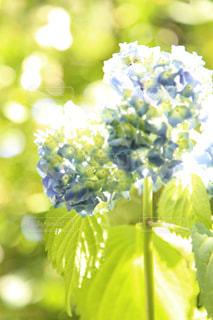 光を浴びる紫陽花の写真・画像素材[2261313]