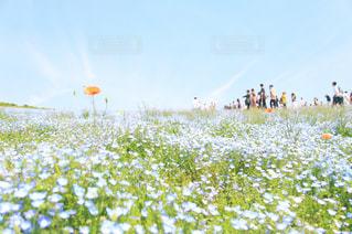 ネモフィラの丘の写真・画像素材[2261320]