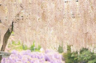 藤の花園の写真・画像素材[2261323]