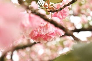 桜,八重桜,川越市,埼玉県,さくら,川越水上公園