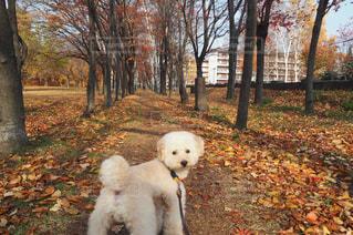 公園で小さな白い犬の地位の写真・画像素材[851565]