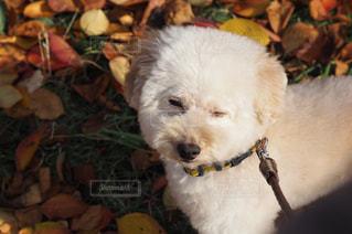近くに犬のアップの写真・画像素材[851573]